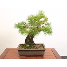 online bonsai plants to japan