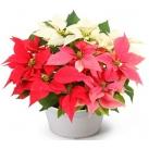 christmas flowers online tokyo