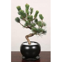 pinus parviflora bonsai to japan