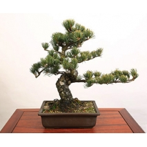 bonsai goyomatsu medium