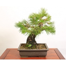 kuromatsu bonsai to japan
