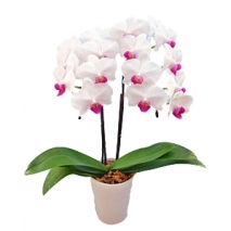 middy phalaenopsis to japan