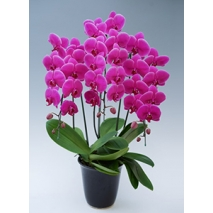 dark pink orchids plant to japan