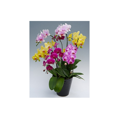 orchid midi mix plant to japan