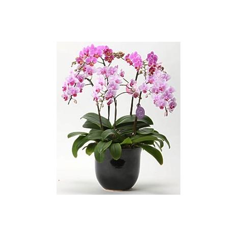 send phalaenopsis orchid to japan